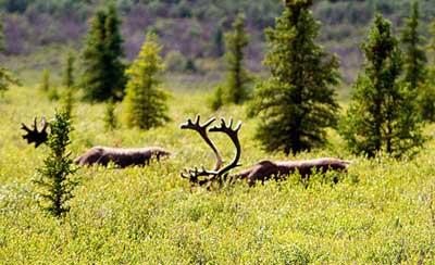 caribou habitat