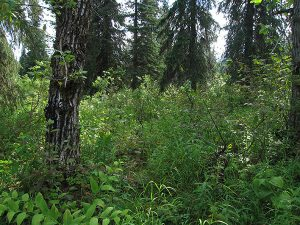 cook inlet lowlands forest